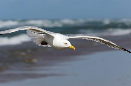 beack: European Herring gull