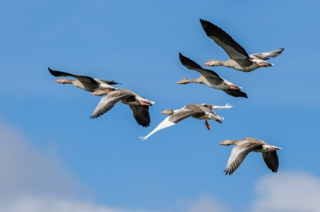 A flock of flying greylag geese with a blue sky photo