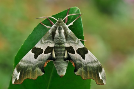 mimas: Lime Hawk-moth