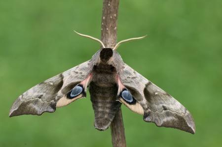 ocellatus: a moth
