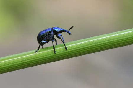 snout: snout beetle