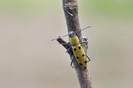 longhorn beetle: longhorn beetle (Chlorophorus pilosus)