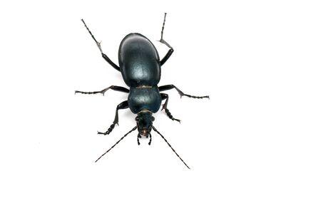 carabus: Carabus glabratus, a ground beetle isolated on white ground  Stock Photo