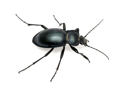 Carabus glabratus, a ground beetle isolated on white ground  Stock Photo - 8974969