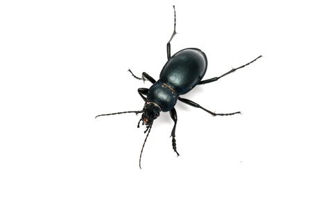 Carabus glabratus, a ground beetle isolated on white ground  photo