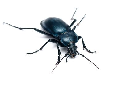 Carabus glabratus, a ground beetle isolated on white background  photo
