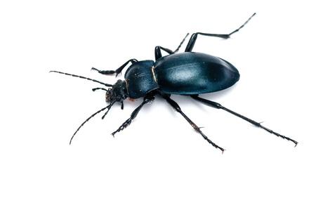 carabus: ground beetle (carabus glabratus) isolated on white ground  Stock Photo