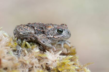a young Natterjack Toad sitting on a stone Stock Photo - 9196742