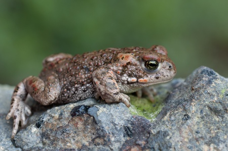 a young Natterjack Toad sitting on a stone Stock Photo - 9230332