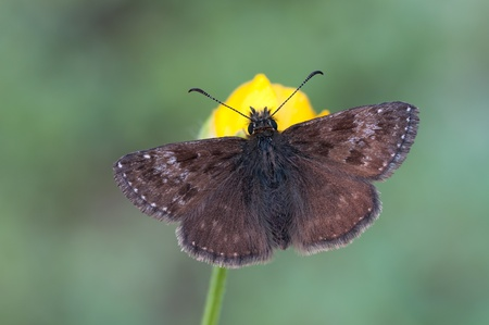 skipper: a Dingy skipper on a yellow flower