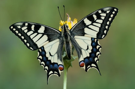 a young Papilio machaon on a yellow flower photo