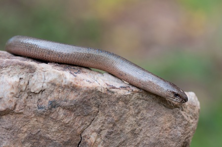a young Blindworm on a stone Stock Photo - 9448021