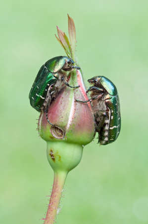 two chafers on a closed rose flower photo