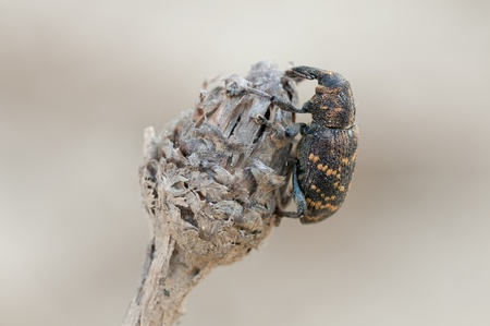 abietis: weevil beetle over a white background