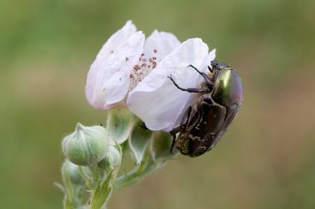 macro of a chafer on a white flower photo