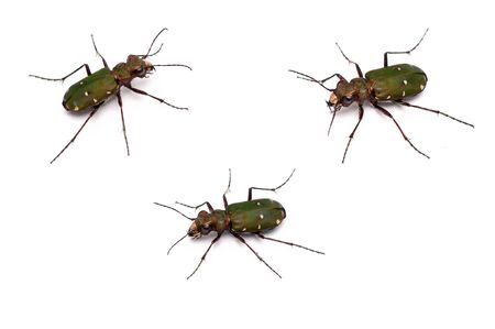 tiger beetle: a closeup of  a Green Tiger Beetle Stock Photo