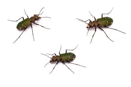 tiger beetle: un primo piano di un verde Tiger Beetle