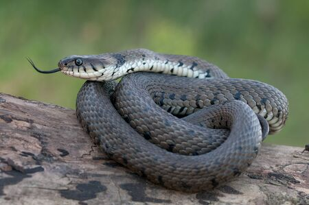 grass snake: macro of a grass snake in the nature Stock Photo
