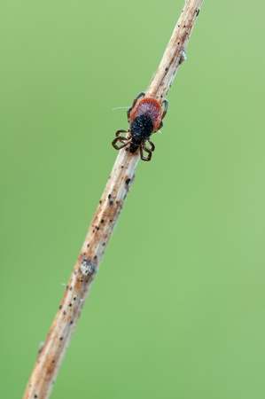 macro of a sheep tick in the nature photo