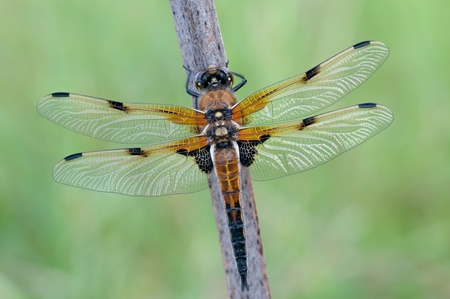libellula: macro of a Libellula quadrimaculata in the nature