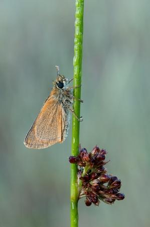 skipper: macro of a skipper butterfly Stock Photo