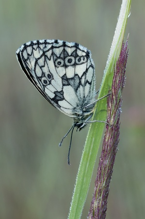 macro of a Marbled White butterfly