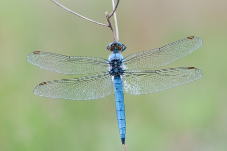 chaser: macro of a Orthetrum cancellatum