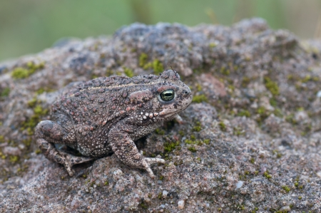 bufo bufo: Natterjack Toad sitting on ground
