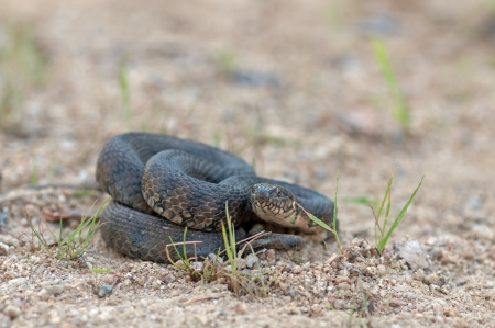 colubridae: image of a viperine water snake Stock Photo