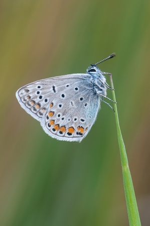 Macro of a Polyommatus icarus Stock Photo - 16629131