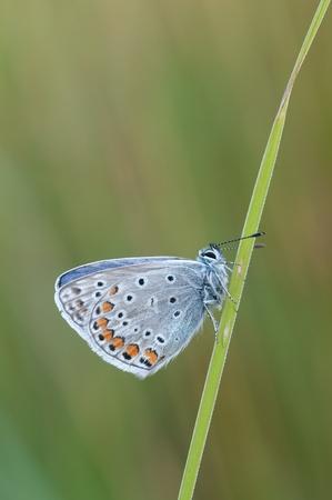 polyommatus icarus: Macro of a Polyommatus icarus