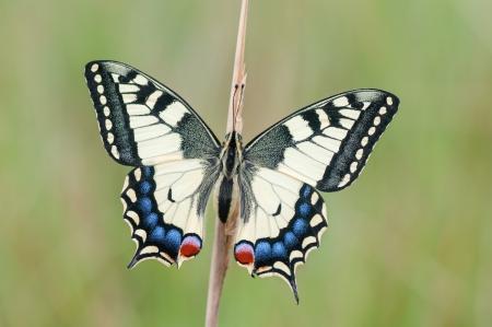 papilio: macro of a Papilio machaon