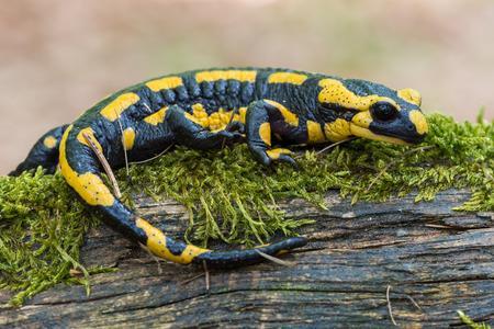 salamandra: amarillo negro manchado salamandra Foto de archivo