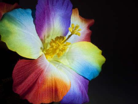 ibiscus: Fiore di ibisco arcobaleno a sfondo nero Archivio Fotografico