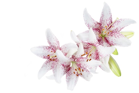 funeral background: White lillies isolated on white background