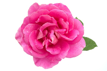 single rose: Pink rose with water droplets Stock Photo