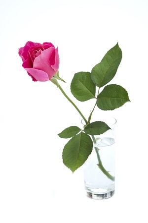 pink rose bud in vase isolated on white photo