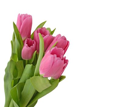 matherday: Bouquet of pink tulips isolated on white background