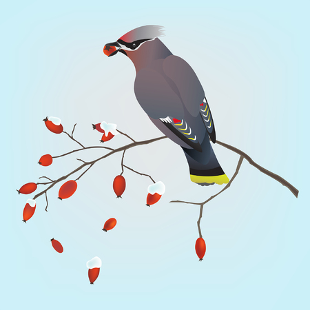 red berries: Bohemian waxwing bird on a branch of a wild rose