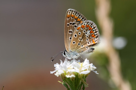 Butterfly on the flower. Polyommatus icarus