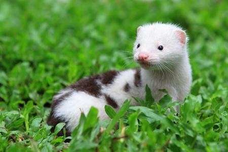 mink: European Mink