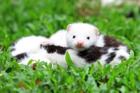 White and Brown European Mink im grünen Gras