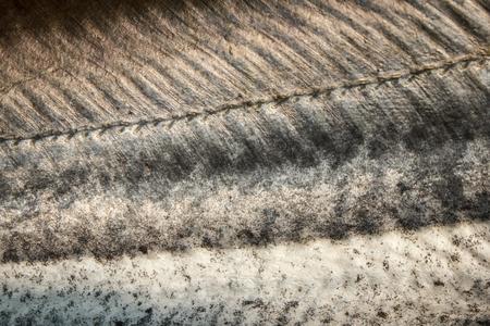 sheatfish: Sheatfish Piel Foto de archivo