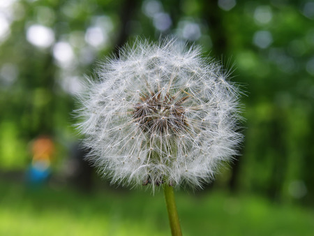 Dandelion on a background of forest