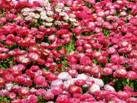 Field of pink daisies Stock Photo