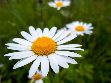 matricaria: White daisy flower close-up. Chamomile closeup Stock Photo