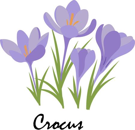 Fiori di primavera Crocus colorati. Fiori viola su sfondo bianco. Vettore