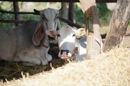 resting: Cattle resting in stables