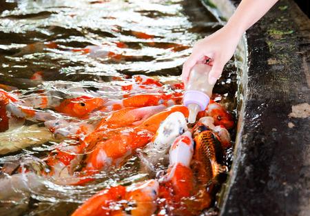 cyprinidae: animal asia carp colors feed fish life marine nature pet Stock Photo