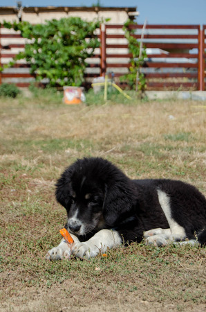 dog eating: Dog eating a carrot Stock Photo